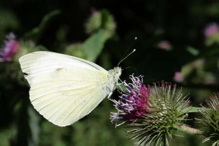 common brimstone butterfly or butter-coloured fly, Gonepteryx rhamni Stock Photo