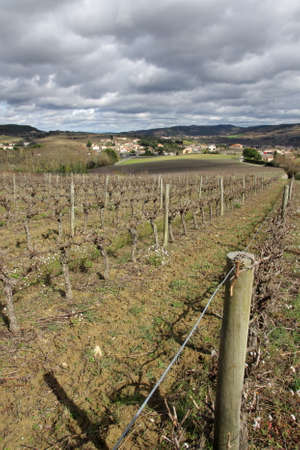 Vineyard in Limouxin, Aude, Occitanie in south of France