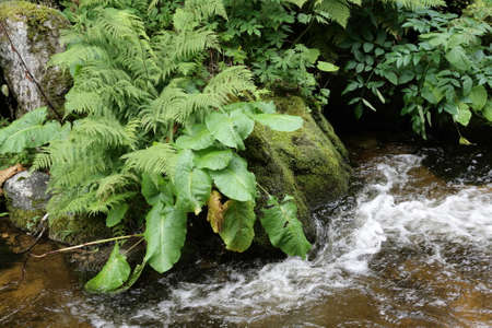 Fern and river in Pyrenees, Aude, Occitanie in south of France