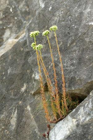 素敵なお花、セダム sediforme のマンネングサ 写真素材