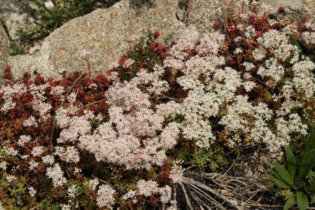 white stonecrop flower, Sedum album Фото со стока