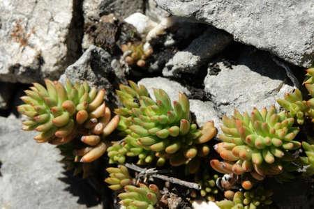 素敵なセダム sediforme のマンネングサ 写真素材