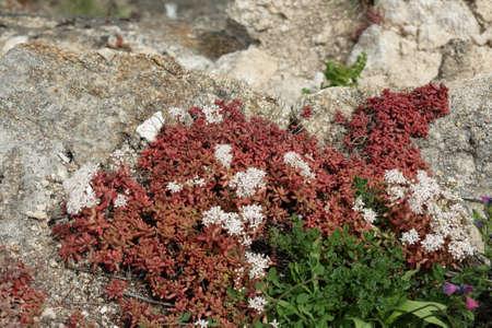 white stonecrop flower, Sedum album Stok Fotoğraf