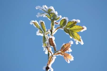 野生のバラの葉