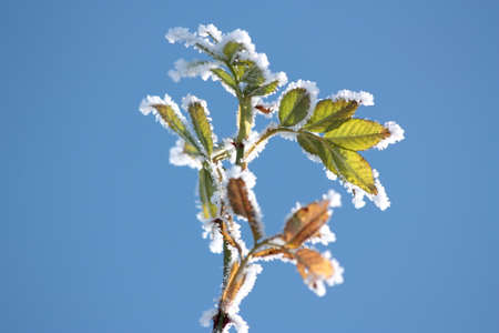 Wild rose leaves Stok Fotoğraf