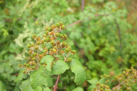 ブラックベリーの果実と植物