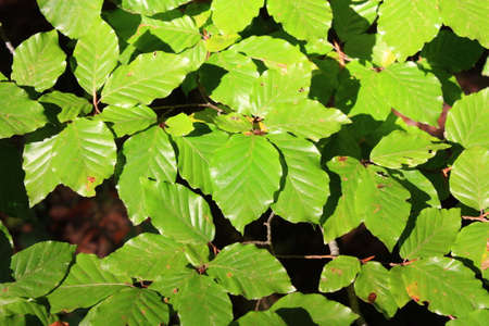 Leaves of beech tree, Fagus sylvatica