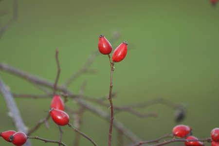 Wild rose hip Stock Photo