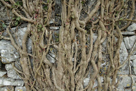 Root of common ivy, Hedera helix