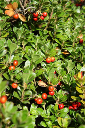 bearberry or  kinnikinnick or pinemat manzanita,  Arctostaphylos uva ursi Stock Photo