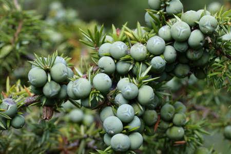 Berries of common juniper, Juniperus communis