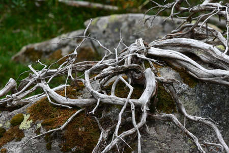 Branches of whitened and tortuous wood