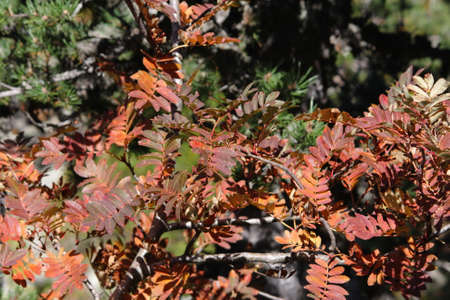 sorbus: red leaves of rowan or mountain-ash, Sorbus aucuparia