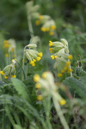 cowslip or cowslip primrose flower in spring, Primula veris