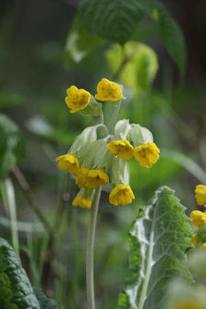 cowslip or cowslip primrose flower in spring, Primula veris