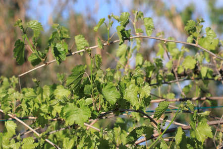 Leaves and young grapes of vine grape in spring