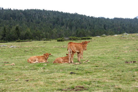 Group of Calfs cow  in Pyrenees, France