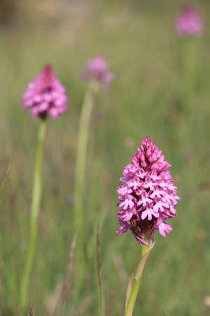 pyramidal: pyramidal orchid flower in mediterranean meadow, Anacamptis pyramidalis Stock Photo