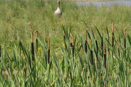 bulrush or common cattail or great reedmace or coopers reed or cumbungi, Typha latifolia