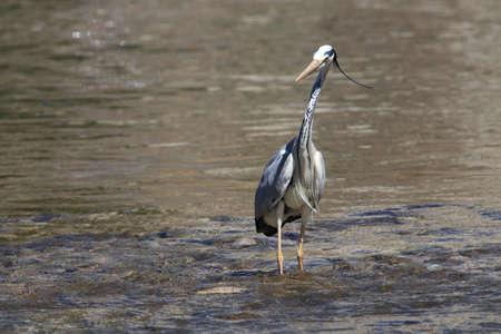 ardea: grey heron on a river,Ardea cinerea