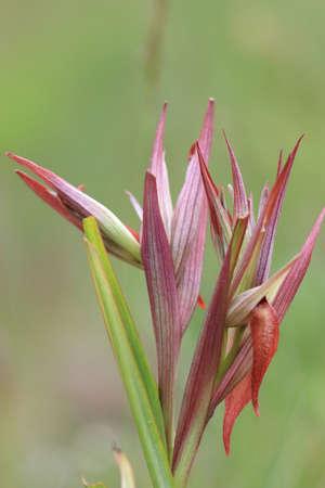 Flower of Serapias in meadow, mediterranean orchid.