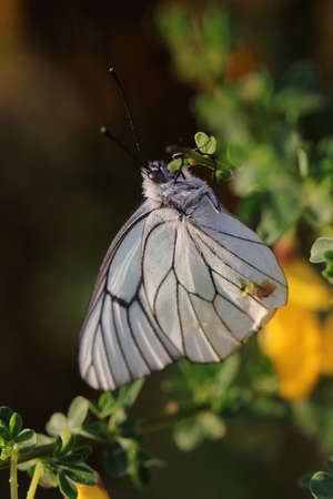 black-veined white butterfly, Aporia crataegi Banco de Imagens