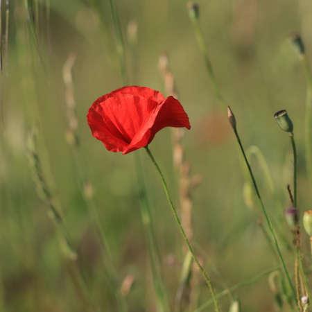 Red poppy or corn rose flower, Papaver rhoeas