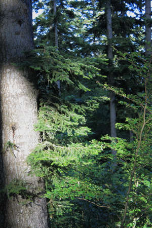 trunk of silver fir tree in Pyrenees, Abies alba
