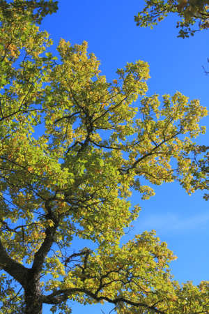 foliage and branch of downy oak or pubescent oak tree in autumn, Quercus pubescens Banco de Imagens - 87258094