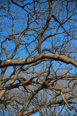 Tree oak, branch and trunk in winter