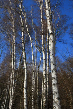 Birch tree in forest, France Stock Photo