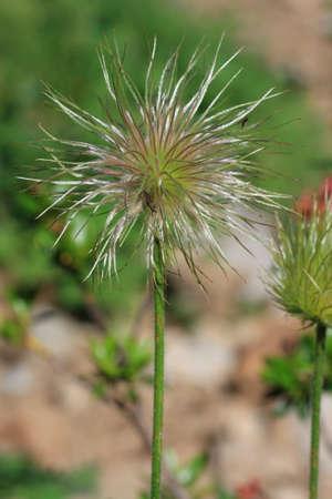 fruit of alpine pasqueflower or alpine anemone, Pulsatilla alpina Banco de Imagens