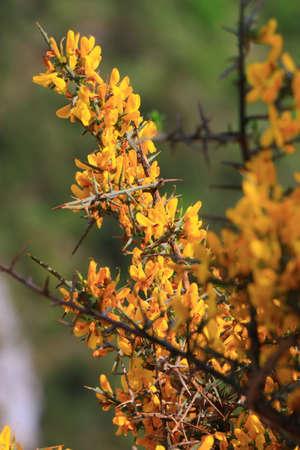 scorpion broom flowers  also call  genista scorpius, mediterranean plant