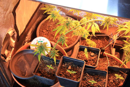 Culture of cannabis flowers and seedling in a culture box