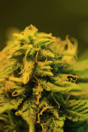 Cannabis bud showing resin glands and pistil on flower Stockfoto