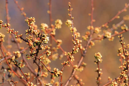 background of Buds of blackthorn in spring Stockfoto