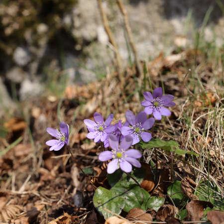 flower of  liverleaf in spring, Hepatica nobilis specie Stockfoto