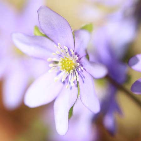 stamen and pistil of flower of  liverleaf in spring, Hepatica nobilis specie Stok Fotoğraf