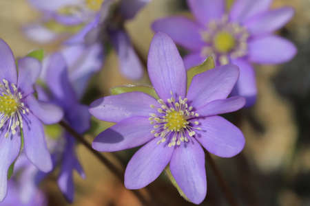 flower of  liverleaf in spring, Hepatica nobilis specie Stok Fotoğraf