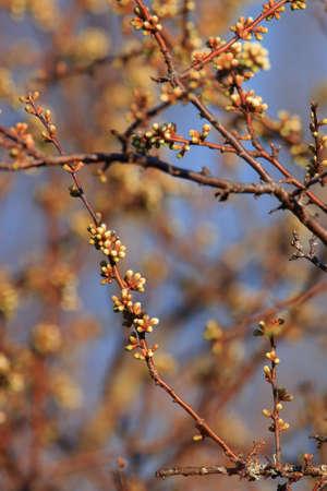 background of spring Buds of blackthorn or sloe, Prunus spinosa specie