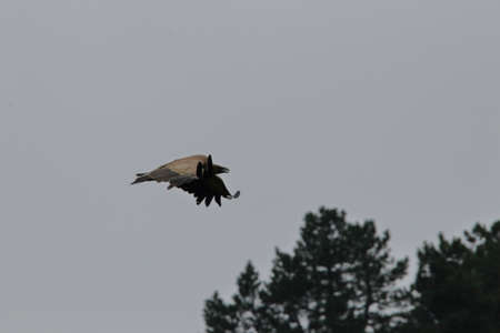 griffon vulture flight, gyps fulvus specie in Pyrenean sky Stockfoto