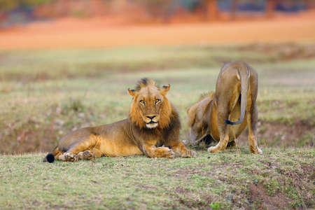 El león del sur (Panthera leo melanochaita) también como el león de África del Este-Sur o el León de África del Este-Sur. Macho dominante acostado en la sabana con fondo de color naranja.