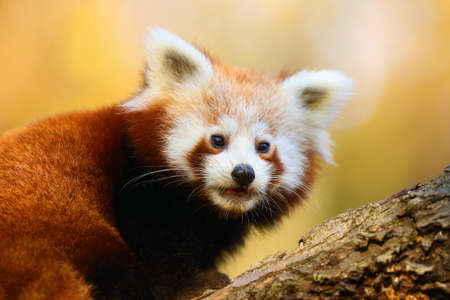 The red panda (Ailurus fulgens) , fire fox or lesser panda, the red bear-cat, and the red cat-bear, portrait in the afternoon light.