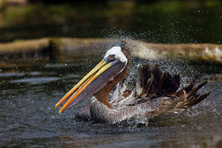 The brown pelican (Pelecanus occidentalis) on the surface of the pond. The pelican cleans its feathers and shakes water on the dark water.