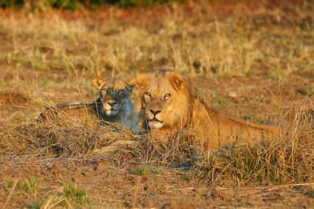 A Southern Lion (Panthera leo melanochaita) also as an Eastern-Southern African Lion. Mating Pair Lying In The Grass In An Open Steppe. Head of lion and lioness in evening orange light.
