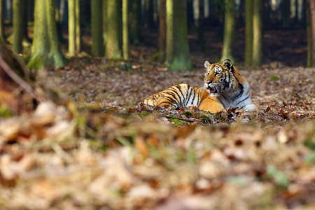 The Siberian Tiger (Panthera tigris tigris), also called Amur Tiger (Panthera tigris altaica) lies in the forest. Young tiger in natural environment. Banque d'images - 137597811