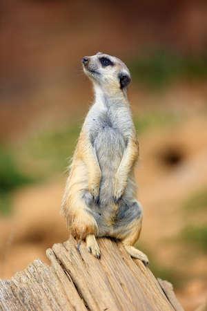 La suricata o suricate (Suricata suricatta) patrullando cerca del agujero. Suricata de pie bajo el sol de la mañana.