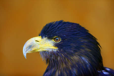 White-tailed eagle (Haliaeetus albicilla) are also known as sea eagle, portrait with orange background. Stockfoto