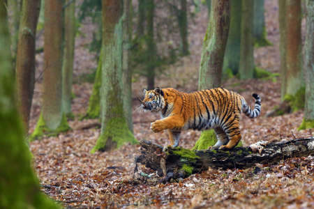 The Siberian Tiger (Panthera tigris tigris) also called Amur tiger (Panthera tigris altaica) in the forest, Young female tiger in the forest. A young tiger playing with a stick in the mouth. Banque d'images - 137889706