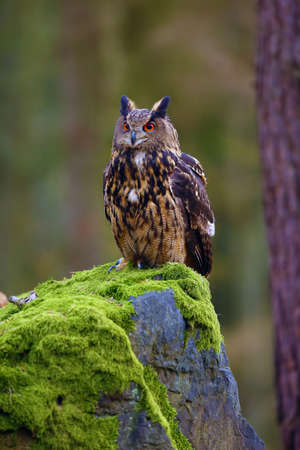 The Eurasian eagle-owl (Bubo bubo) , portrait in the forest. Eagle-owl sitting in a forest on a rock. Stockfoto